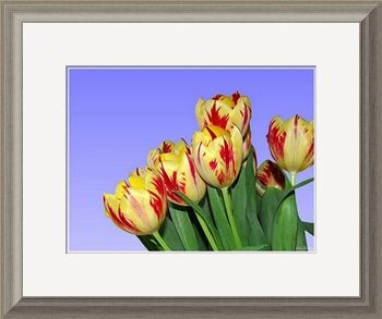 Spring Flowers - Tulips